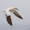 Northern Gannet incoming to colony