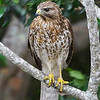 Red-shouldered Hawk in a Plumeria Tree