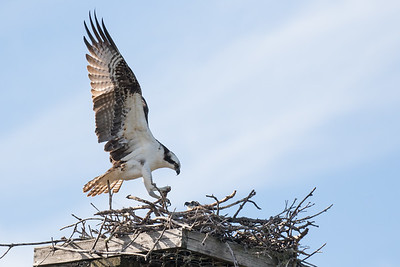 Osprey arriving at nest