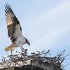 Osprey arriving at nest