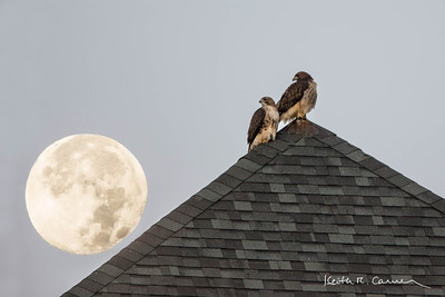RED-TAILED HAWKS AND MOONSET