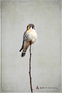American kestrel, perched