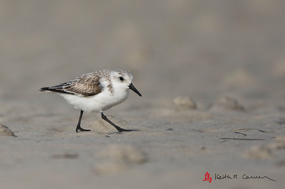 Sanderling, non-breeding plumage