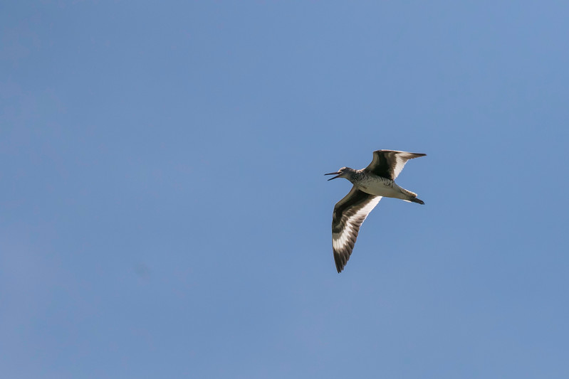 Willet calling in flight, near Popham Beach, Maine, July 6, 2017