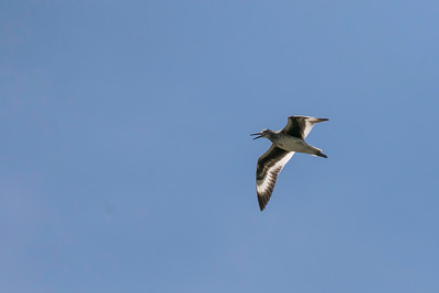 Willet calling in flight, near Popham Beach, Maine, July 6, 2017