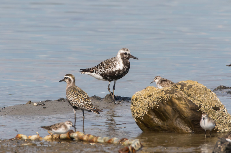 American golden plover (L) and Black-bellied plover (R)
