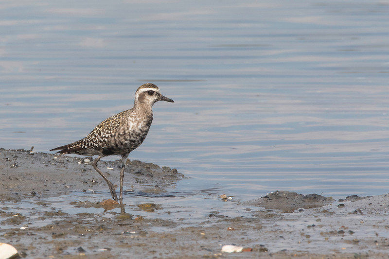 American golden plover, molting to winter plumage
