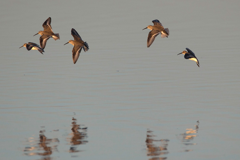 Dunlins in flight, Ding Darling NWR, Florida, January 16, 2013