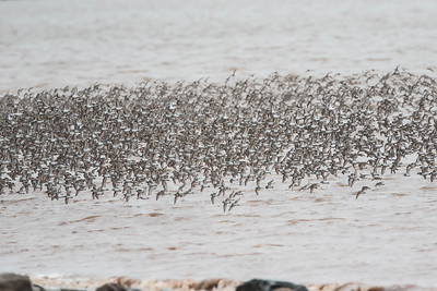 Semipalmated sandpipers on the wing, Johnsons Mills, New Brunswick, August 2015