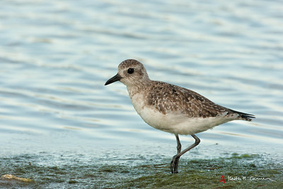 Black-bellied Plover, juvenile