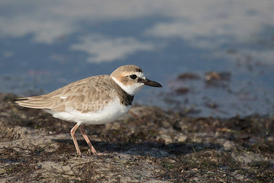 Wilson's plover - Bunche Beach, Fort Myers, FLorida, January 2016