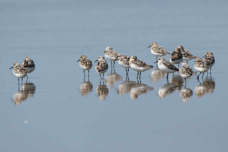 Semipalmated Sandpipers on the beach