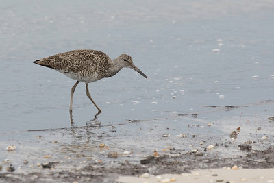 Willet, breeding plumage, Cape May, NJ May 21, 2016