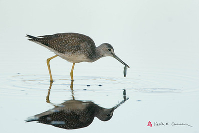 Lesser Yellowlegs with prey
