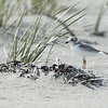 Piping Plover juvenile
