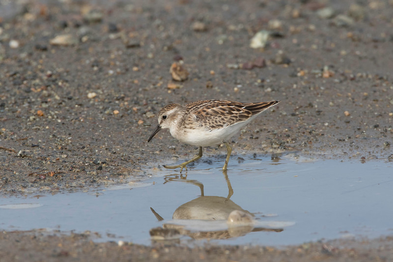 Least sandpiper, Parker River NWR, Massachusetts, August 17, 2017