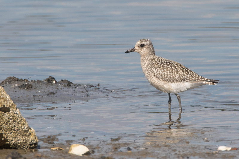 Black-bellied plover, juvenile, Pine Point, Scarborough, Maine, August 31, 2017