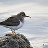 Spotted Sandpiper, non-breeding plumage