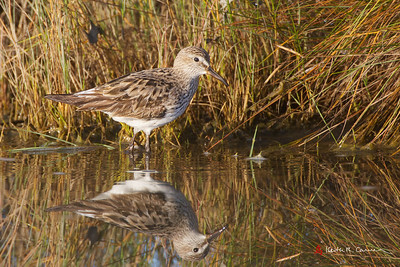 White-rumped Sandpiper, non-breeding plumage