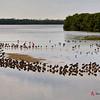 Dunlin and Roseate Spoonbills