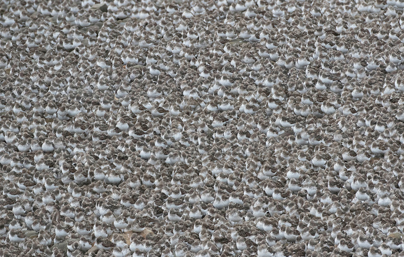 Thousands of Semipalmated sandpipers roosting at Johnsons Mills, New Brunswick