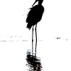 Reddish Egret silhouette