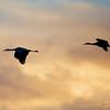 Sandhill Cranes silhouette