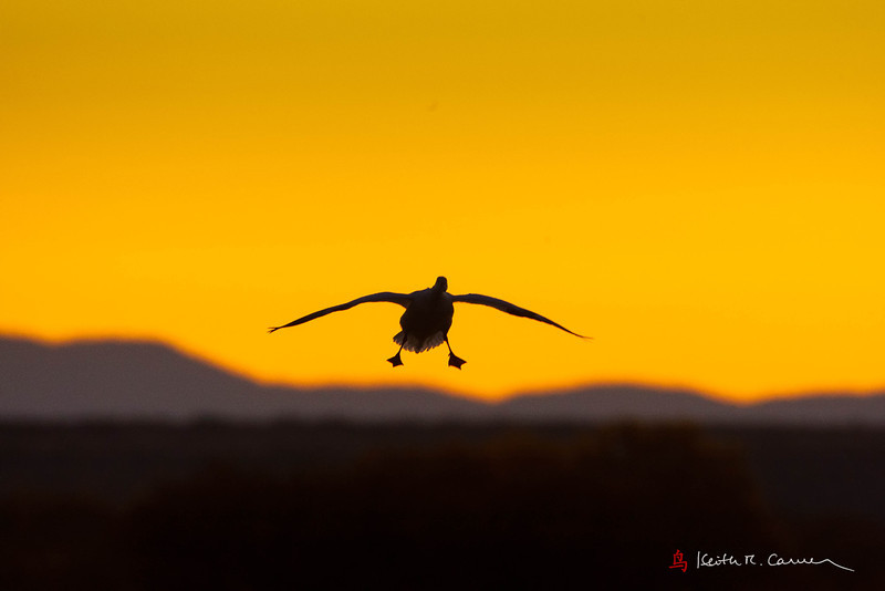 Snow Goose landing at dawn