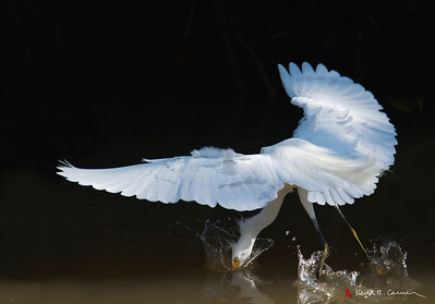 Snowy Egret plunge-fishing