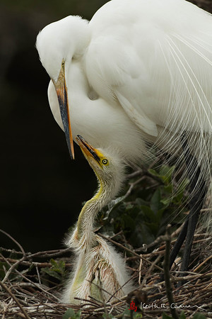 Great Egret with chick