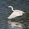 Reddish Egret, white morph