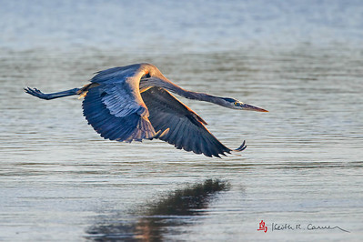 Great Blue Heron, chasing away another GBH