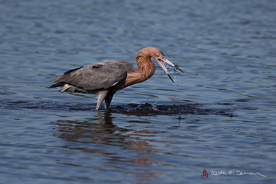 Reddish Egret with fish