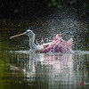 Roseate Spoonbill bathing