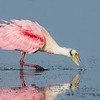 Roseate Spoonbill, adult breeding plumage