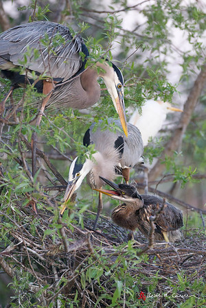 Great Blue Heron adults and juvenile