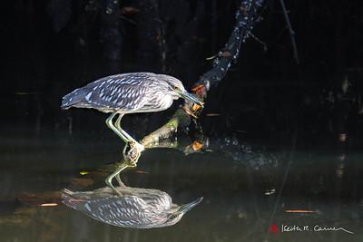 Black-crowned Night Heron, juvenile