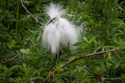 Snowy Egret, breeding plumage