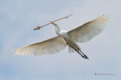 Great Egret ferrying nest stick