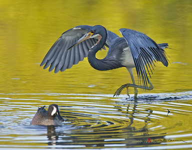 Tri-colored Heron and Blue-winged Teal