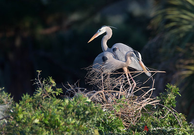Great Blue Heron building nest