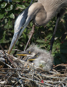 Great Blue Heron and nestlings
