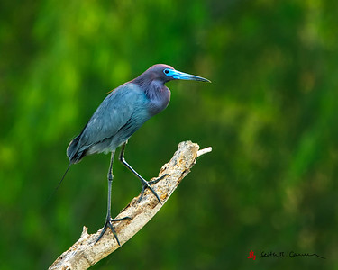 Little Blue Heron, breeding plumage