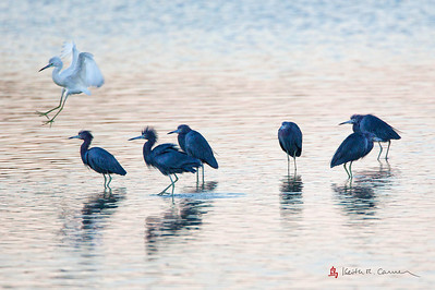 Little Blue Herons (dark adults and light juvenile)