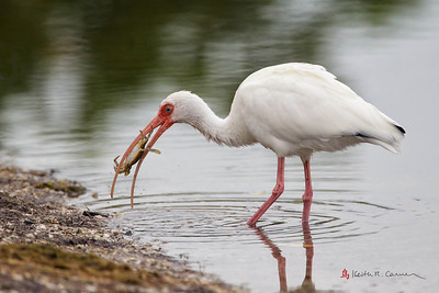 White Ibis with crab
