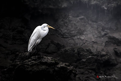 Great Egret in dark
