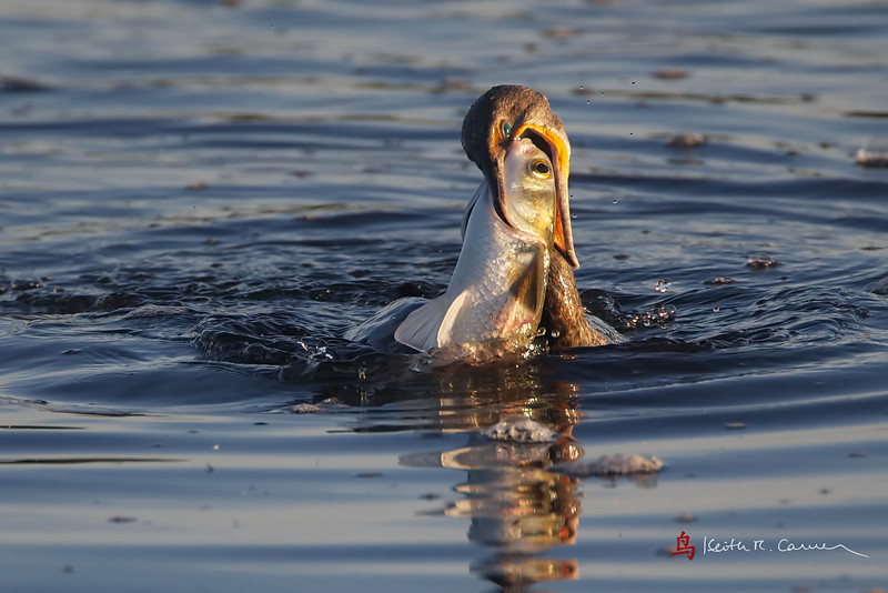 Double-crested Cormorant and Snook