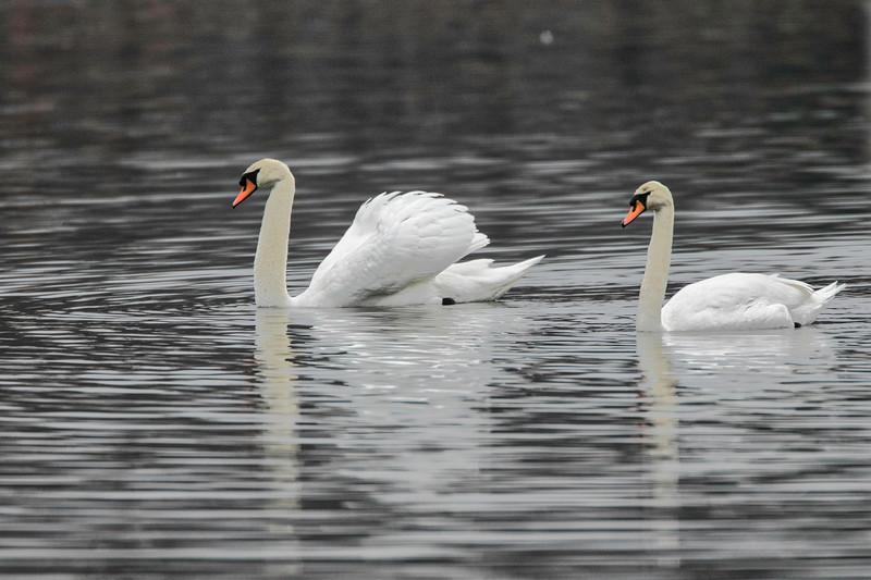 Mute swans