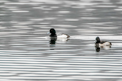 Great scaup (L) and Ring-necked duck (R)