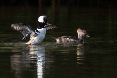 Hooded Merganser, drake and hen